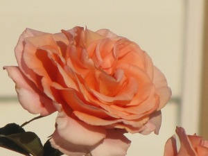Sunset celebration in full bloom...this rose won 1st place in the Apricot Category at the Fraser Pacific Rose Show 2012