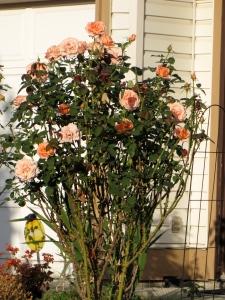 Rose Bush Sunset Celebration